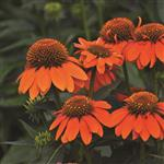 Echinacea Sombrero Adobe Orange.jpg